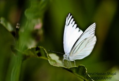 White Butterfly {{{{{ EXPLORED On 25TH April, 2011 #228 }}}}} (Shajal1) Tags: macro green beautiful wonderful butterfly eos amazing dof village caonon 450d