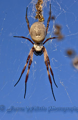 DSC09345 (Jason Whittle Photography) Tags: blue spider big web spiderinweb