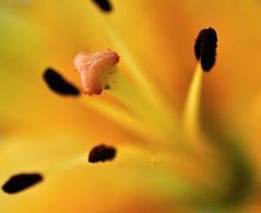 DSC_2267 (VilasSali) Tags: flower macro nikon doublefantasy tamron90mmdimacro d5000 flickrflorescloseupmacros mygearandme tamronspdiaf90mmf28macro11