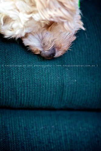 Life as a dog Mozart poodle cross maltese dog photography by twoguineapigs Pet Photography