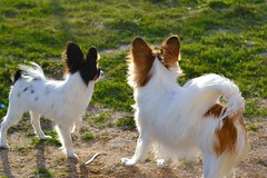 We are all ears! (Pappup2010) Tags: dog pet white black color cute animal butterfly puppy toy small tan sable canine papillon tricolor pup breed tri pap toybreed butterflydog whiteandsable