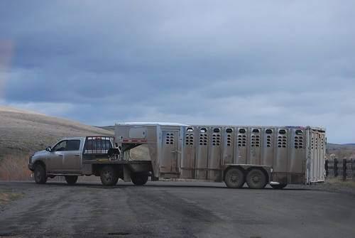 easter and shipping cows 064