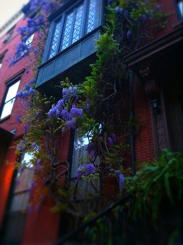 Wisteria in Greenwich village