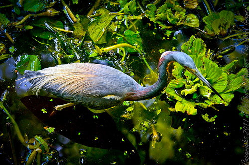 Little Blue Heron_MG_7036 by Against The Wind Images