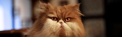 Kimba (Vecktoring) Tags: cats animal animals cat persian kat chat gato felino kimba katze leone gatto animali animale pelo persiano razza bestofcats cat~gato~chat~katze~gatto~kat animalivari