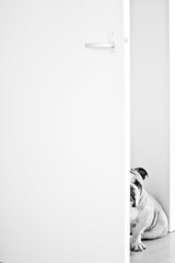 Hiding (Oh beautiful world.) Tags: door blackandwhite bw dog pet pets white black cute home animals 50mm eyes funny shy bulldog hidden englishbulldog 18 ohbeautifulworld hannekevollbehr
