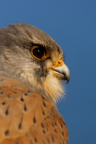 Common Kestrel - MGL2611
