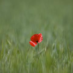 Red Rebel (Alvaro's Pix) Tags: flower verde green bokeh flor poppy minimalism wideopen amapola ef300mmf28lusm canon5dmarkii ef14xextenderiii