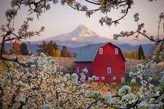 Framed by Flowers (Gary Randall) Tags: trees sunset oregon orchard mthood pear mounthood redbarn hoodriver garyrandall dsc64382