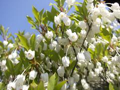 庭の花 白