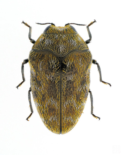 Trachys broussonetiae