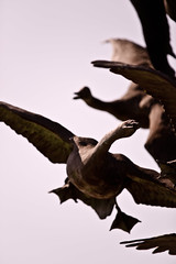 (DJF-solo) Tags: park cambridge wild sky abstract nature water beautiful birds statue contrast frank fly flying geese high cool wings skies natural bright g sony center flies 28 fowl visitors withers a850 sal70200