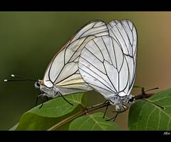 Aporia crataegi (alfvet) Tags: macro nature nikon ngc butterflies natura npc farfalle sigma150 platinumheartaward buzznbugz veterinarifotografi mygearandme mygearandmepremium mygearandmebronze mygearandmesilver mygearandmegold