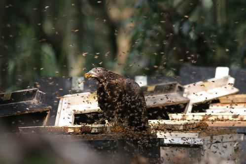 在蜂場覓食的東方蜂鷹。(圖片來源:林務局)