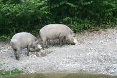 Bartschweine