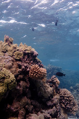 Coral reef, Shark Island, French Frigate Shoals