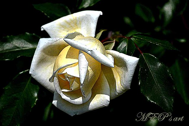 whiteyellow rose: a light from darkness