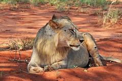 The King (Giulia La Torre) Tags: africa nature animals kenya safari lions monkeys giraffe elephants tsavo savana flickrbigcats