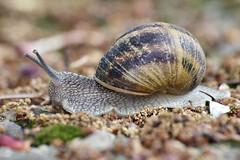 salyangoz 2 (avskrc) Tags: macro snail natura makro doğa anawesomeshot sümüklüböcek