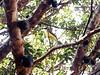 jaboticaba e ben-ti-vi. (Fernanda Campos :*) Tags: verde cores árvore jaboticaba bentivi