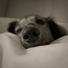 Umpfff (Pupilux) Tags: dog chien face sleep panasonic pancake daschund teckel museau 14mm gf2 thelittledoglaughed ldlportraits