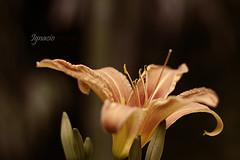 Primavera VI (Ignaciocenteno) Tags: madrid parque primavera canon flor 7d printemps aranjuez ignaciocenteno