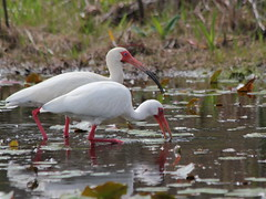 Ibis in the Prairies east side Arpil 2011