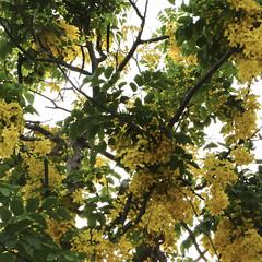 Cassia fistula (ddsnet) Tags: travel shower sony cybershot  cassiafistula tree   goldenshowertree golden     hx1     cassia fistula
