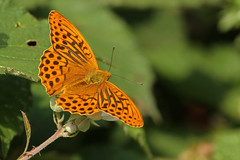 Silver-Washed Fritillary (Tim Aldworth) Tags: butterflies argynnispaphia canonlens silverwashedfritillary cameracanon eos7d ef70300mmf456lis bentleystationmeadow