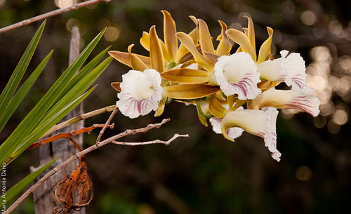Flickr-Orquidea-8 by fotolivre