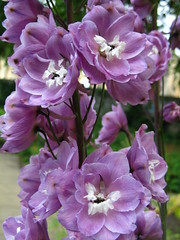 Delphinium (Misty Jane) Tags: mixedflowers flowersarebeautiful excellentsflowers natureselegantshots exquisiteflowers mimamorflowers flickrflorescloseupmacros panoramafotogrfico thebestofmimamorsgroups theoriginalgoldseal