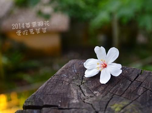 2014油桐花_017.jpg