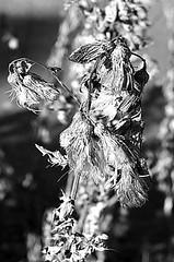 Herbst (schubertj73) Tags: herbst blume flower schwarz weis zwartwit sw bw black white monochrome noir blanc fotografie photography gimp fujifilm x10 autumn