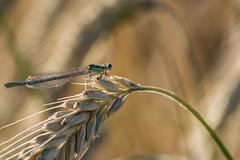 Libelle (rosi.grewe) Tags: makro libelle natur nature wildlife outdoor nikon getreide