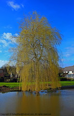 Weeping Willow (Dolwolfian) Tags: tree photoshop canon arbol eos photo search perfect flickr view shot image photos shots d postcard www images best willow com arbre weeping thebest topic 550 salix cartepostale googlecom saule pleureur picturesq babylonica yahoocom goldstaraward imagesyahoocom flickaward imagesgoolecom