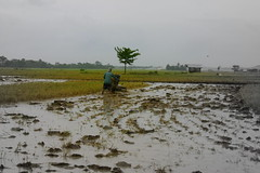 Handtractor (Foriamblessed&highlyfavoured) Tags: ricefield handtractor oldstylefarming balugomansalay