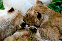 Suckling cubs (Chalto!) Tags: africa wild animal cat mammal cub kenya lion bigcat masaimara suckle