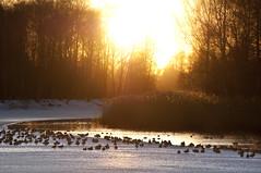 Ducks in the sunset (- David Olsson -) Tags: sunset sun ice water golden nikon sweden ducks karlstad klarlven fiery d5000 55200vr davidolsson