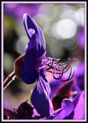 Hooked on purple (W J (Bill) Harrison) Tags: flower macro canon petals harrison purple bokeh pistil petal lilac stamen picnik 50d canoneos50d awesomeblossoms wjbill