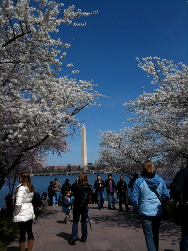 Washington Monument through National Cherry Blossom Festival in Washington D.C.