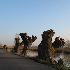 Geknotte essen - Topped ashes (naturum) Tags: netherlands river geotagged march spring nederland ash es lente gein maart rivier abcoude 2011 knotwilg pollardwillow geo:lat=5227803107 geo:lon=499264240