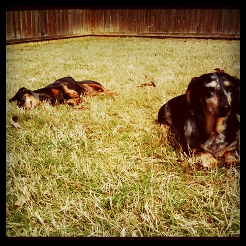 Much dachshund improvement means enjoying a bit of sunshine and grass