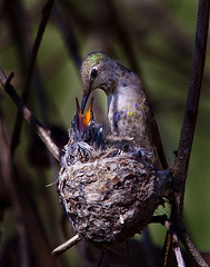 Hummingbird Nest (Forget Me Knott Photography) Tags: california baby bird beach animal chica hummingbird adult nest feeding wildlife huntington reserve wetlands chicks bolsa slbfeedingyoung brianknott forgetmeknottphotography fmkphoto
