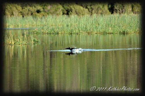 Cormorant taking off