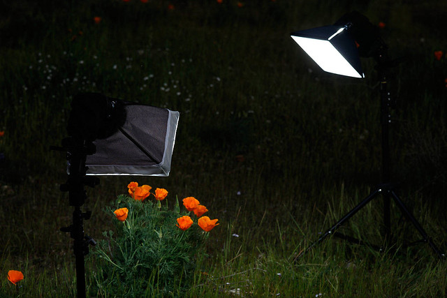 Lighting for Poppy Shots