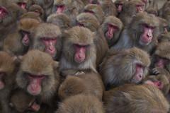 Rush hour(April 7,2011  Explore ) (Masashi Mochida) Tags: baby japan monkey child rush hour awaji coth supershot impressedbeauty natureselegantshots