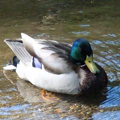 P1020879/ Lonely duck on the river (Alfredo Barros G  ) Tags: color colour water reflections duck wings agua pico pato alas vigo reflejos plumas rolagares lumixfz45 lagaresriver