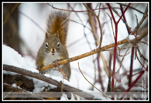 Canadian Red Squirrel at Weaselhead