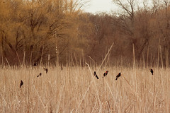 Birds of a Feather (Sharon Drummond) Tags: ontario canada birds nationalpark alone boardwalk pelee marsh marshland pointpelee saturdaymorning southwestern redwingedblackbird ungodlyhour okcrowwasrightitreallywasrelaxing