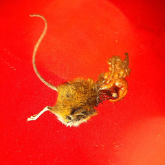 (rougerouge) Tags: morning red trash cat mouse death blood rat mickey iphone